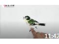 写意绣眼鸟完整画法 南开教授张永敬倾情讲授 (18播放)